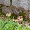 Павлины острова Локрум: птенчики