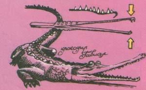 Крокодил-гавиал