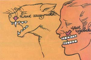 Клык хищника и клык человека