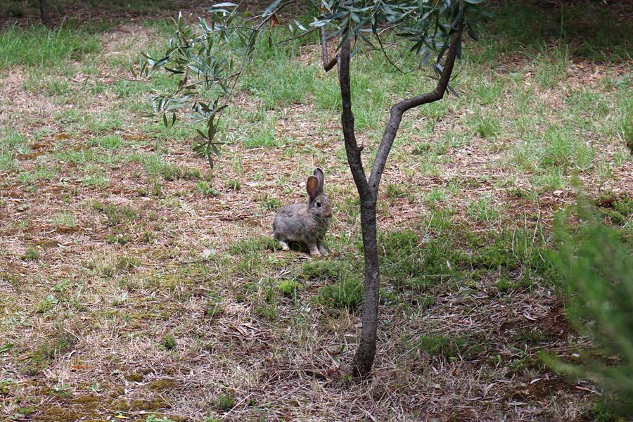 Остров Локрум: кролик