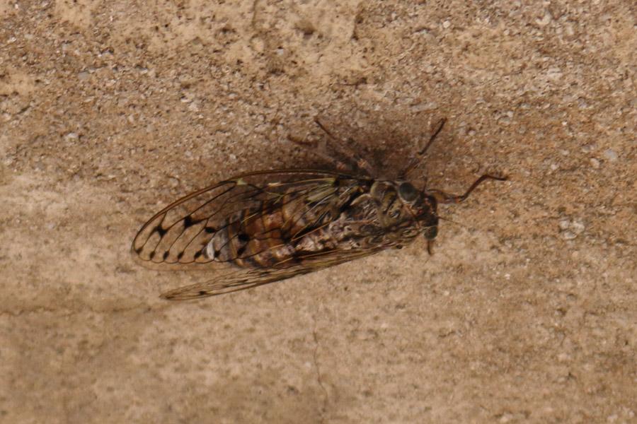Прогулка по Омишу: цикада