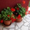 Хорватия, Сребрено, дом наших хозяев буквально утопает в цветах